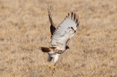 Red-tailed Hawk-3775