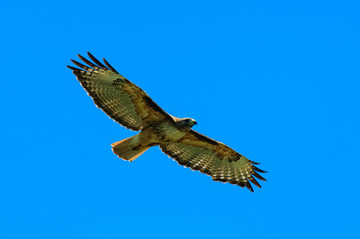 Red-tailed Hawk-124