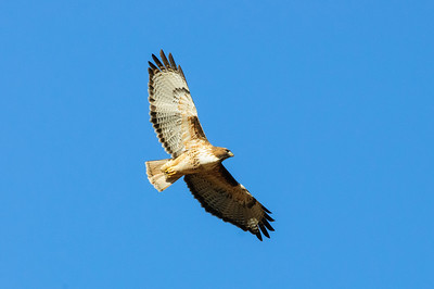 Red-tailed Hawk-6637