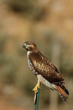 Red-tailed Hawk-159