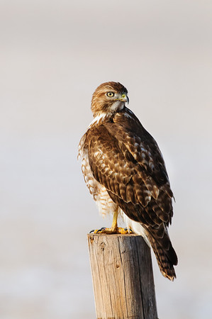 Red-tailed Hawk-1327