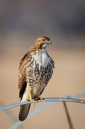 Red-tailed Hawk-0513