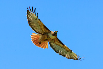 Red-tailed Hawk-140