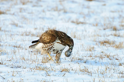 Red-tailed Hawk-1259