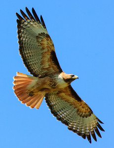 Red-tailed Hawk-141