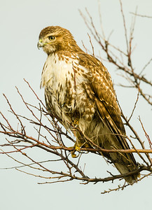 Red-tailed watching small birds