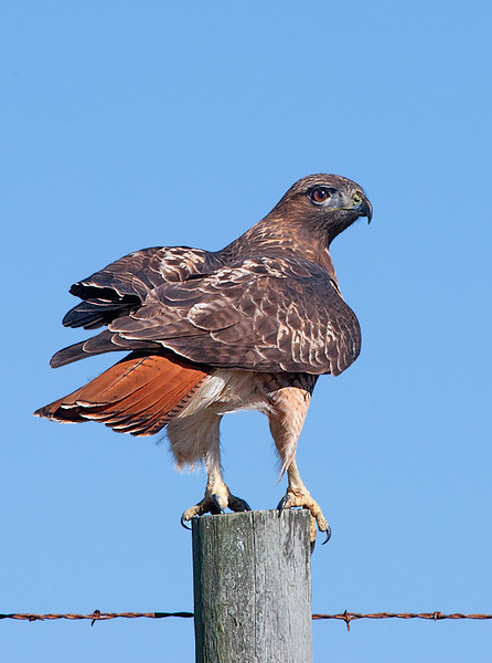 It is obvious in this image why the Red tailed Hawk got it's name although the tail is never really red and may be brown in young birds