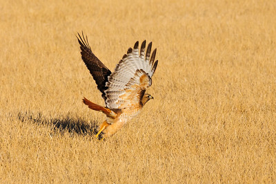 Red-tailed Hawk-4647