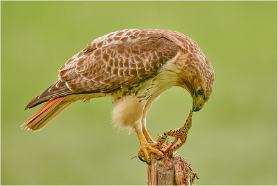 Red-tailed Hawk with catch