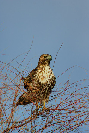 Red-tailed Hawk-199