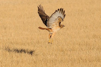 Red-tailed Hawk-4649