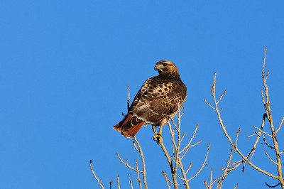 Red-tailed Hawk-4674