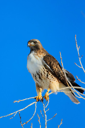 Red-tailed Hawk-175