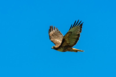 Red-tailed Hawk-130