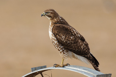 Red-tailed Hawk-0583
