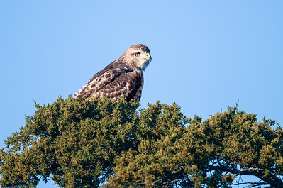 Red-tailed hawk sitting in a tree