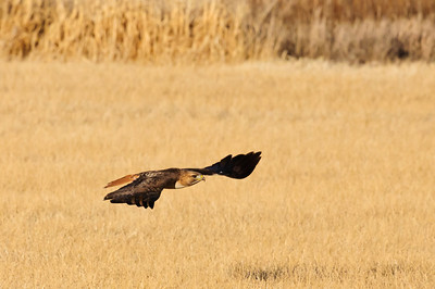Red-tailed Hawk-4668