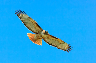 Red-tailed Hawk-145