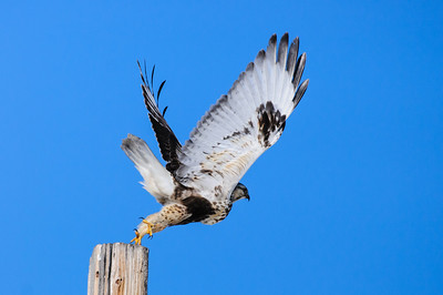 Rough-legged Hawk-569