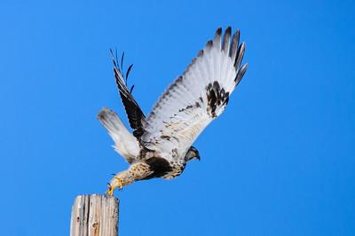 Rough-legged Hawk-569