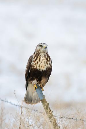 Rough-legged Hawk-102