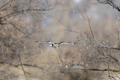 Rough-legged Hawk-436
