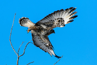 Rough-legged Hawk-307