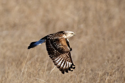 Rough-legged Hawk-168