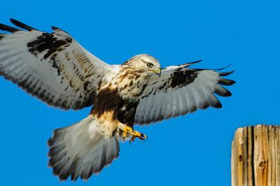 Rough-legged Hawk-576