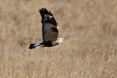 Rough-legged Hawk-166