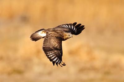 Rough-legged Hawk-221