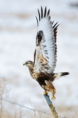 Rough-legged Hawk-127