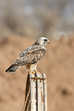 Rough-legged Hawk-182