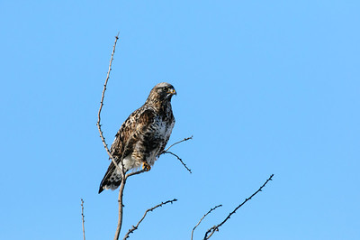 Rough-legged Hawk-295