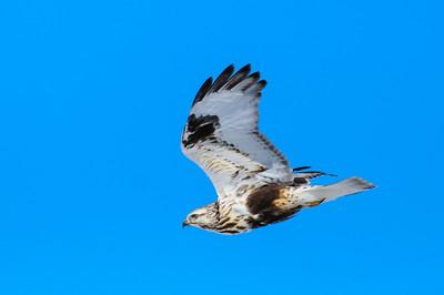Rough-legged Hawk-541