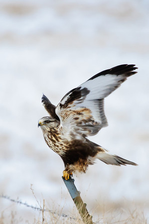 Rough-legged Hawk-122
