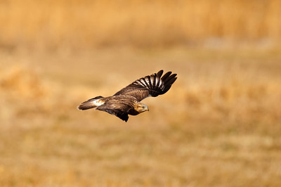 Rough-legged Hawk-225