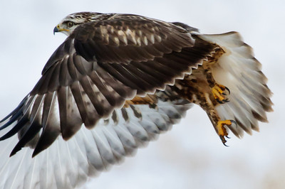 Rough-legged Hawk-131