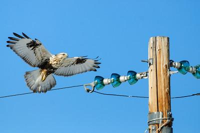 Rough-legged Hawk-574