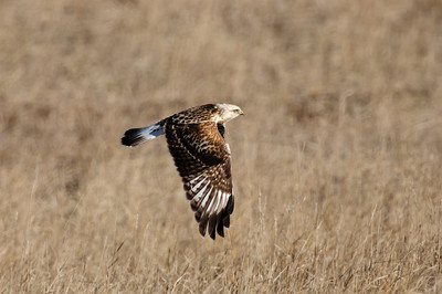 Rough-legged Hawk-165