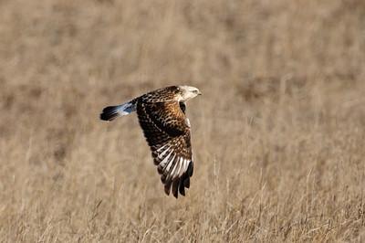 Rough-legged Hawk-165