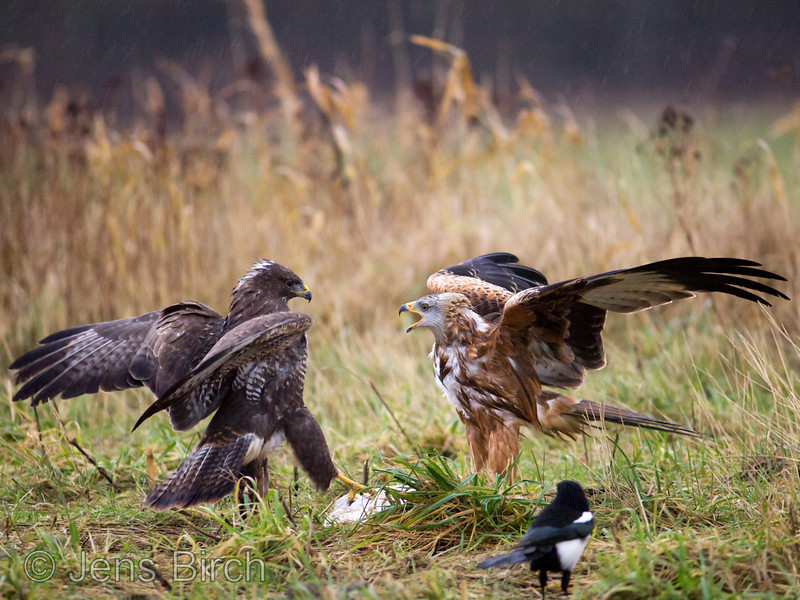 A common buzzard (<i>Buteo buteo</i>) picks a fight with a red kite (<i>Milvus milvus</i>) in an attempt to scare it off from its food.  Taken a very rainy, windy, and gloomy day in south Sweden. January 2012.