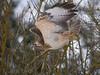 """Pale phase of common buzzard (Buteo buteo). Ljus fas av ormvråk - även kallad """"Börringevråk"""" och """"Balsbergsvråk"""""""