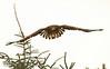 Juvenile white-tailed eagle (Haliaetus albicilla). Ung havsörn.