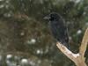 Raven (Corvus corax). Korp.