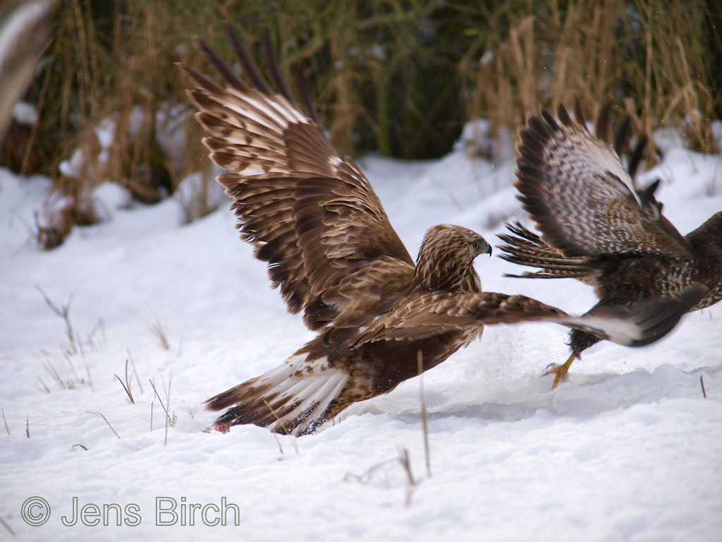 A <b>rough-legged buzzard</b> (<i>Buteo lagopus</i>) ends as the winner in the fight with a <b>common buzzard</b> (<i>Buteo buteo</i>) over the carrion. Fjällvråken går vinnande ur striden om maten mot en ormvråk.