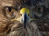 <b>Common buzzard</b> (<i>Buteo buteo</i>) up-close. Närbild av Ormvråk.