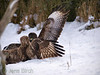 A <b>rough-legged buzzard</b> (<i>Buteo lagopus</i>) and a <b>common buzzard</b> (<i>Buteo buteo</i>) fighting over the carrion. En fjällvråk och en ormvråk slåss om köttet vid åteln.
