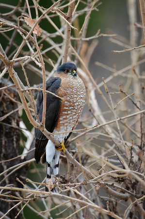 Sharp-Shinned Hawk-9986