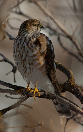 Sharp-Shinned Hawk-